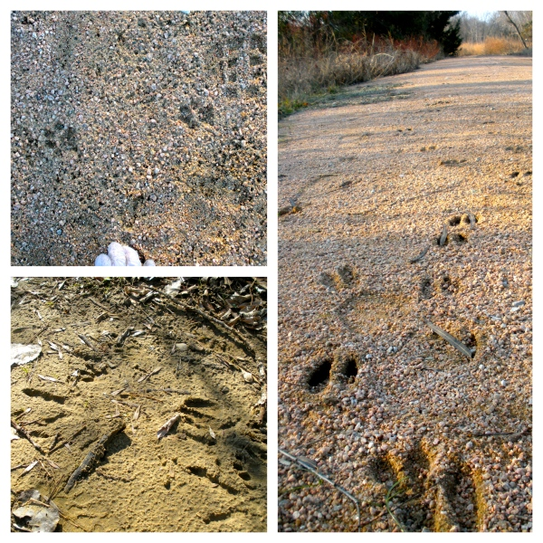 Wildlife Tracks