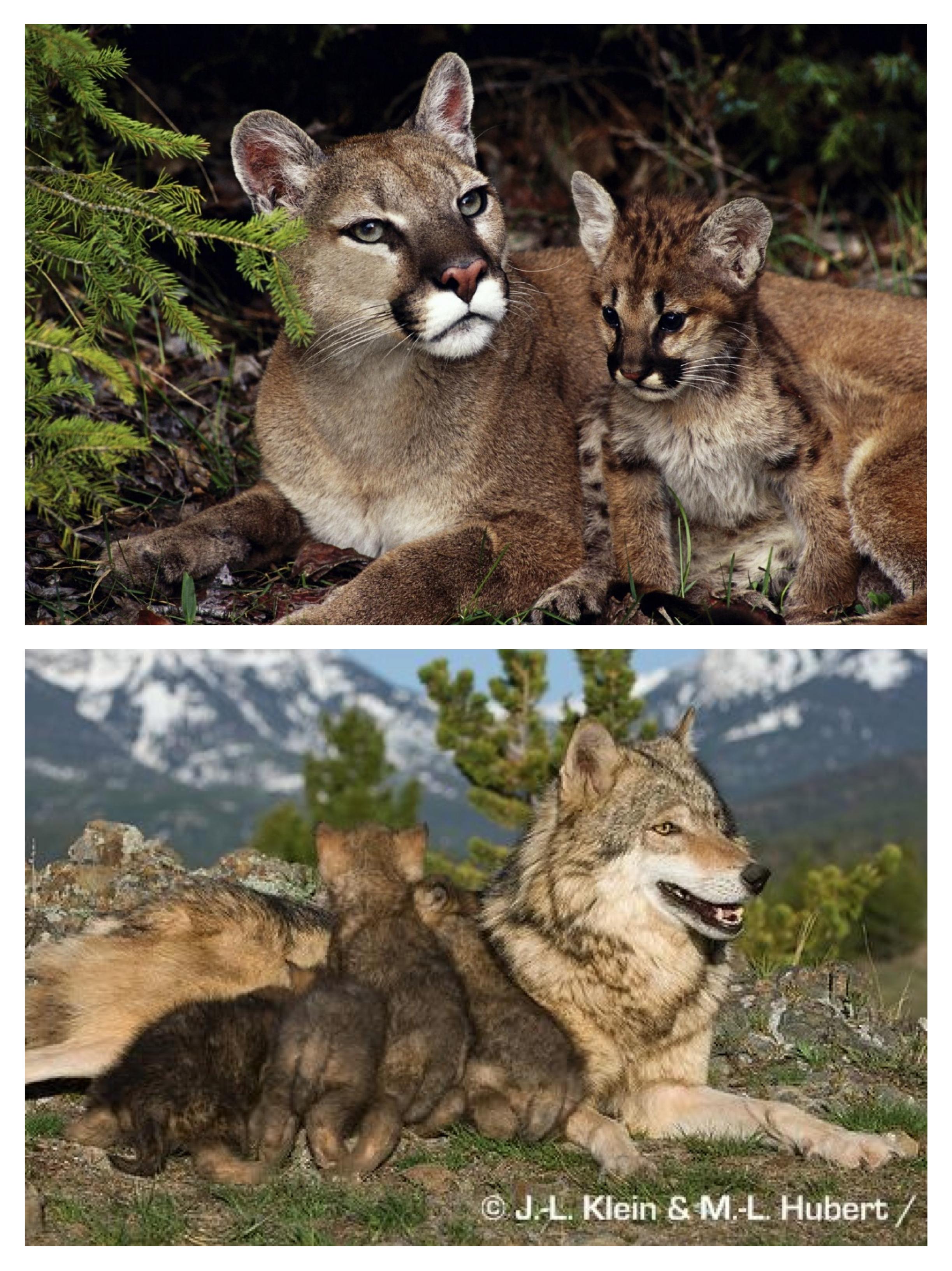 całkiem fajne świetna jakość szczegółowe zdjęcia Cougars and Wolves | the happy naturalist