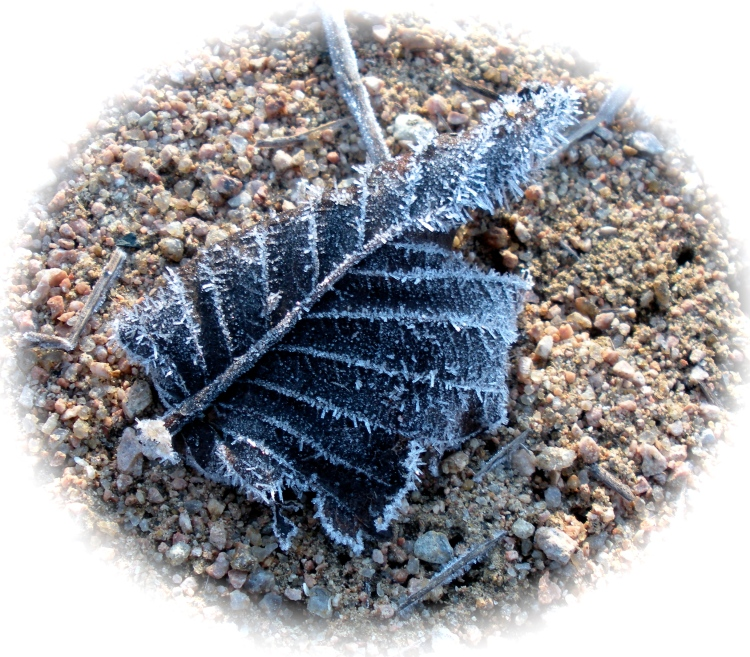 Iced Cottonwood Leaf