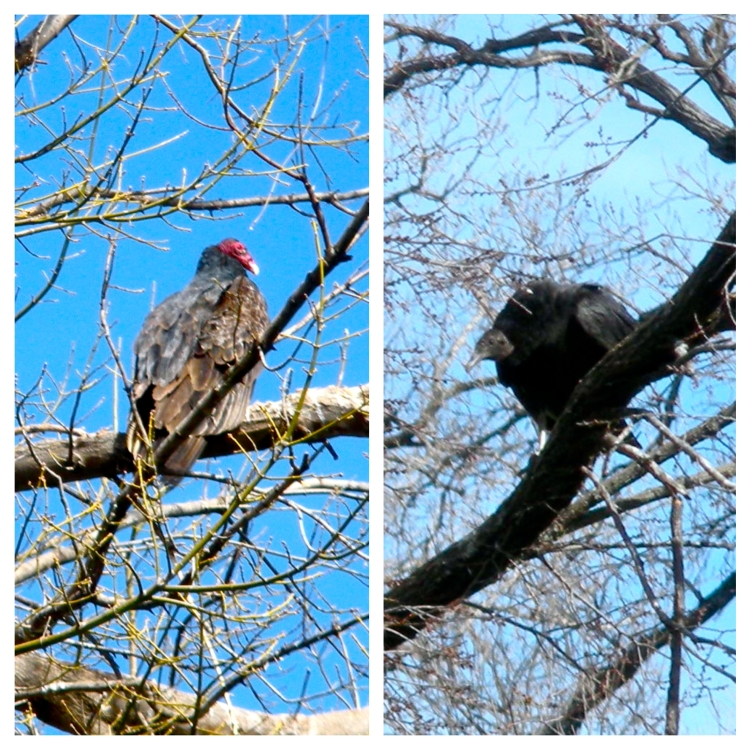 Black and Turkey Vulture comparison