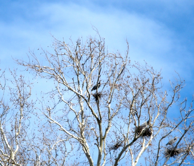 Great Blue Heron and Nests