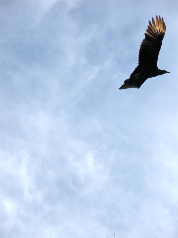 I love vultures.