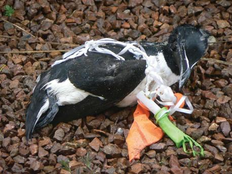 Trapped in balloon debris: http://www.gazetteandherald.co.uk/news/3722437.Clean_up_for_wildlife/