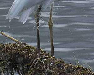 Great Egrets are a common Texas shorebird, and often end up fatally tangled in fishing line, rope, and twine: http://morningjoy.wordpress.com/2008/08/18/seaside-tragedy/