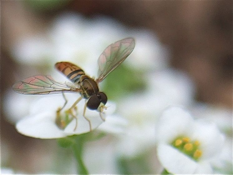 http://www.helpinggardenersgrow.com/2012/06/syrphid-flies-on-sweet-alyssum.html