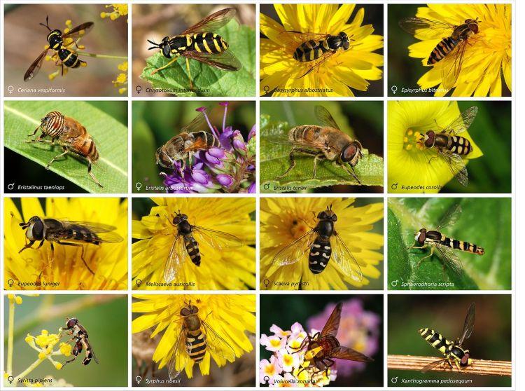 http://en.wikipedia.org/wiki/Hoverfly#mediaviewer/File:Syrphidae_poster.jpg