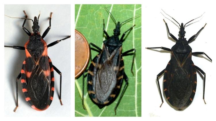 T. sanguisuga, T. gerstaeckeri, T. indictiva